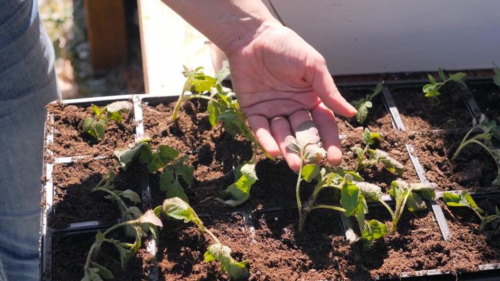 A woman's hand showing the leaves of a tomato plant.