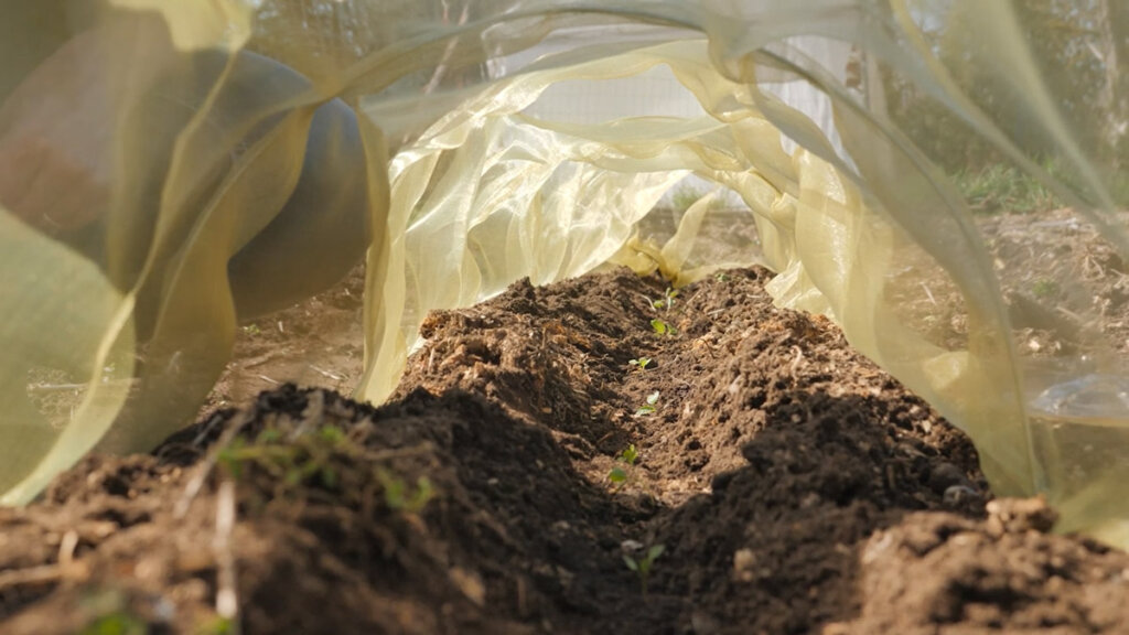 An inside view of crops growing underneath row covers in the garden.