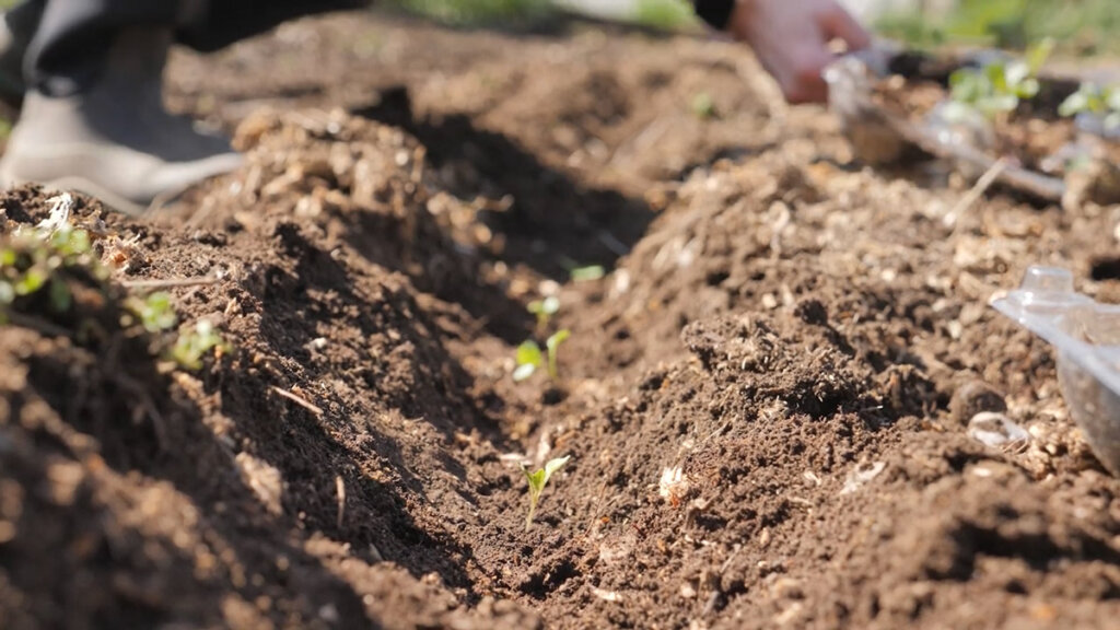 A photo of cabbage seedlings planted in the garden in a row.