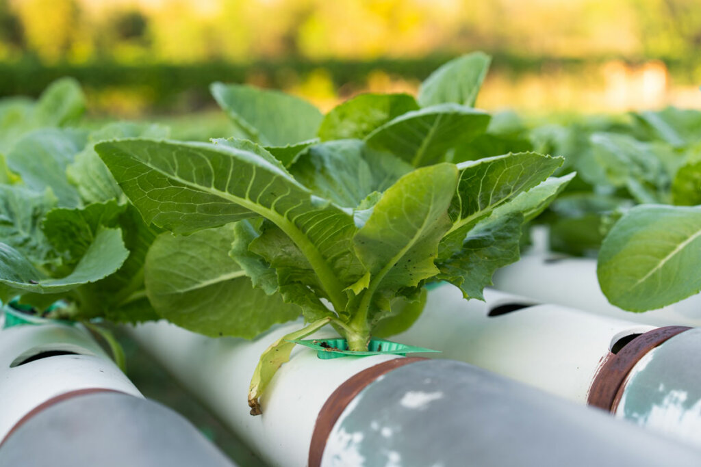 Green vegetables growing in an aquaponics growing system.
