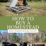 Pinterest pin for how to buy a homestead. Images of a woman gathering eggs from inside a chicken tractor, and of cows eating hay in the pasture.