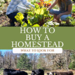 Pinterest pin for buying homestead property. Images of a woman and her daughter in the garden, and of cows eating hay in the pasture.