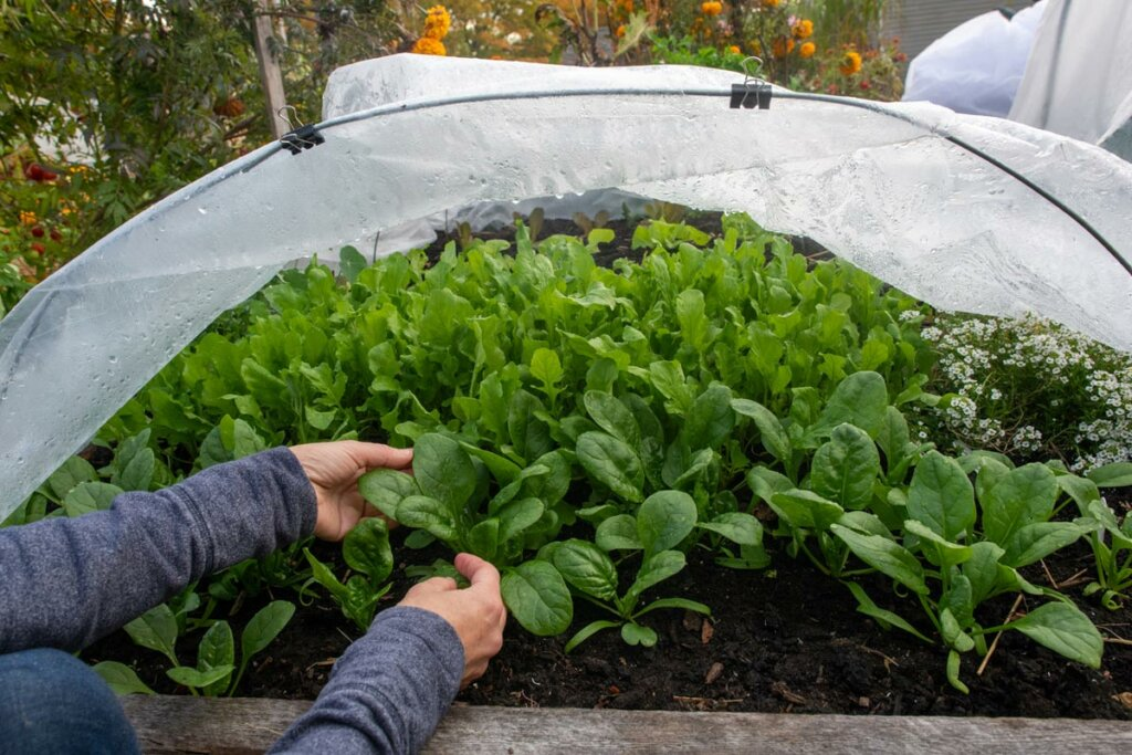 Hands picking spinach from a raised garden bed with a row cover pulled back.