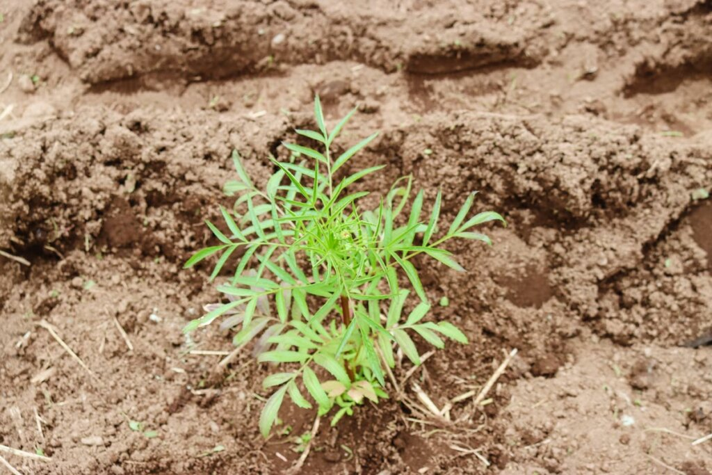 Image of a potato plant growing above the soil.