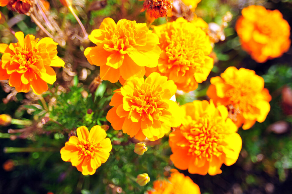 Up close photo of marigolds in bloom.