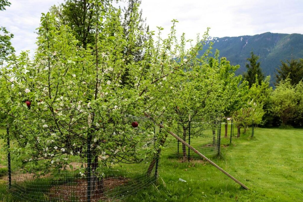 Image of fruit trees in an orchard full of blooms.
