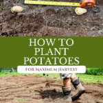 Pinterest pin for how to plant potatoes. Images of potatoes in the soil.