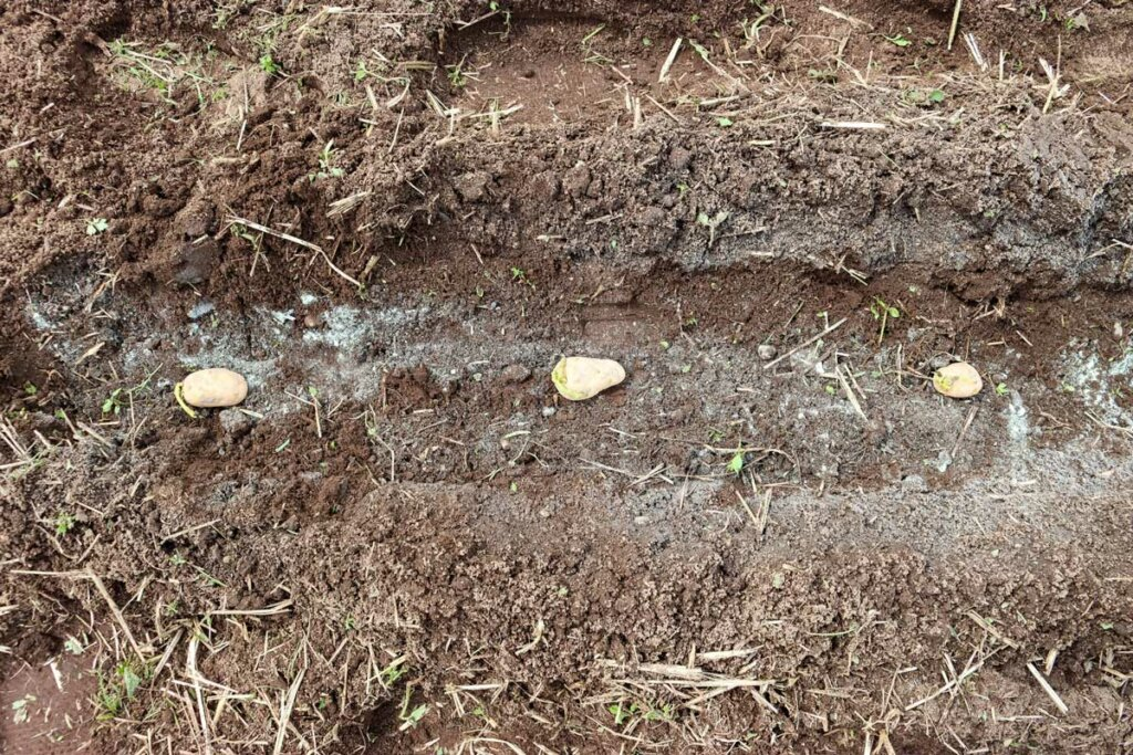 Image of three potatoes in a trench spaced apart about 12 inches.