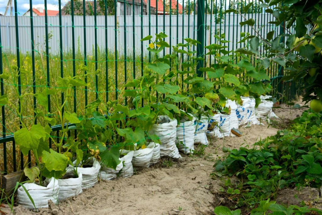 A fence line with cucumbers growing out of bags lining the fence.