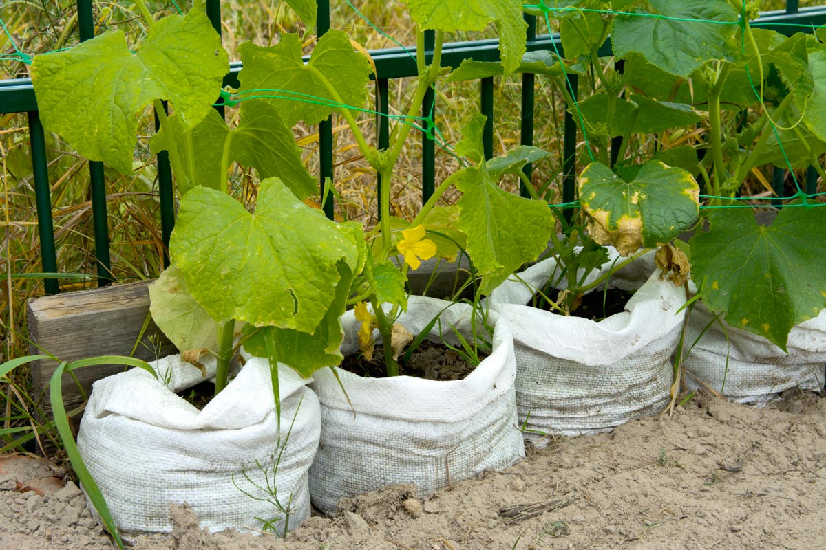 An up close shot of cucumbers growing in grow bags.