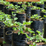 A Pinterest pin on growing in grow bags in the garden. Image of strawberries growing in grow bags.