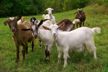 A herd of 8 goats in a grassy field.