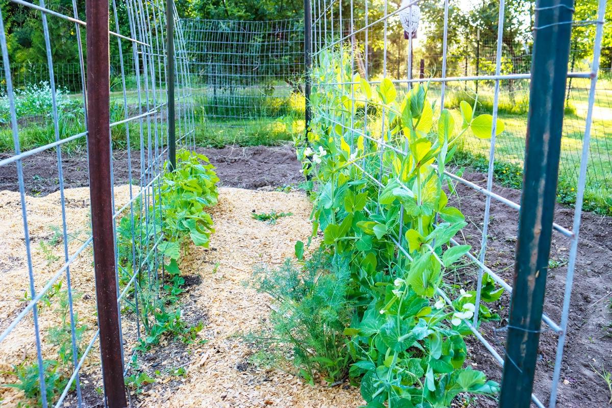 Peas and beans climbing a fence in a garden.