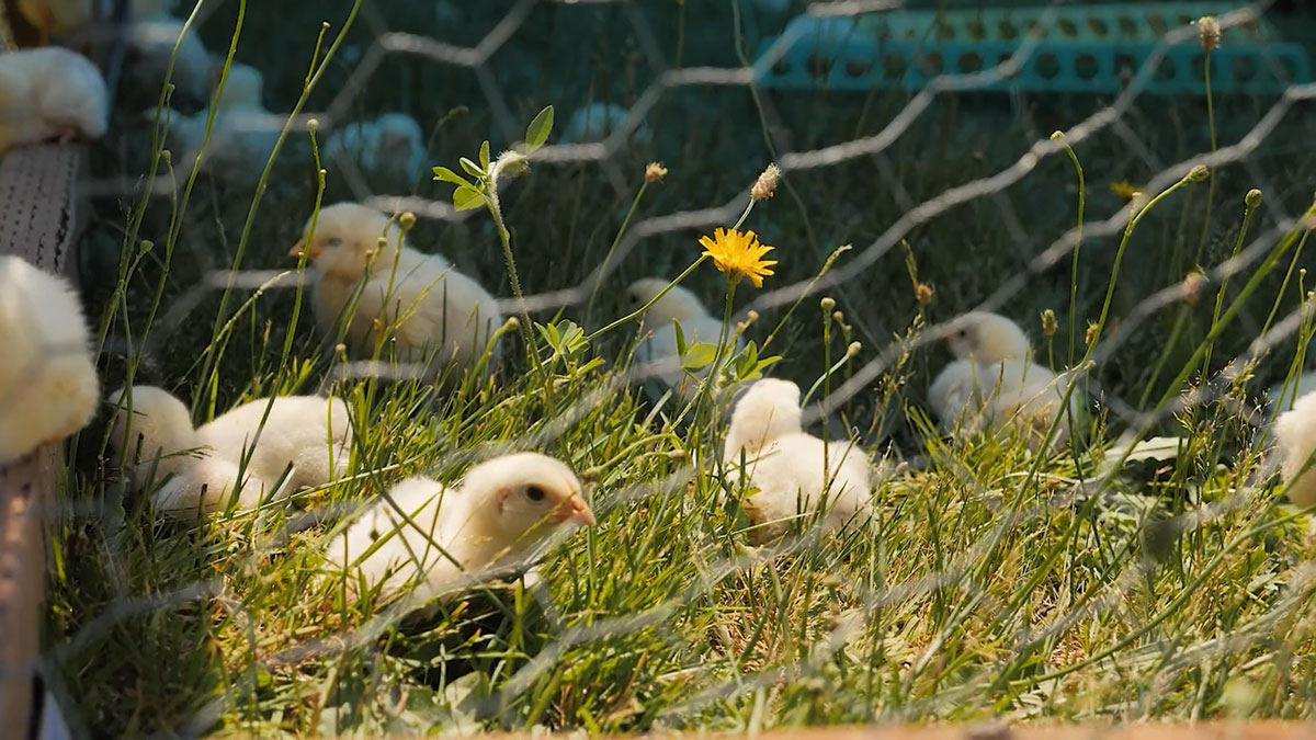 Baby meat chicks hanging out in the grass.