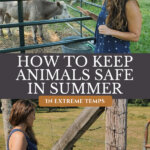 Pinterest pin on how to keep livestock cool in summer. Images of a woman standing by livestock.