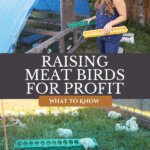 Pinterest pin on raising meat birds for profit. Image of a woman next to a chicken coop with baby chicks.