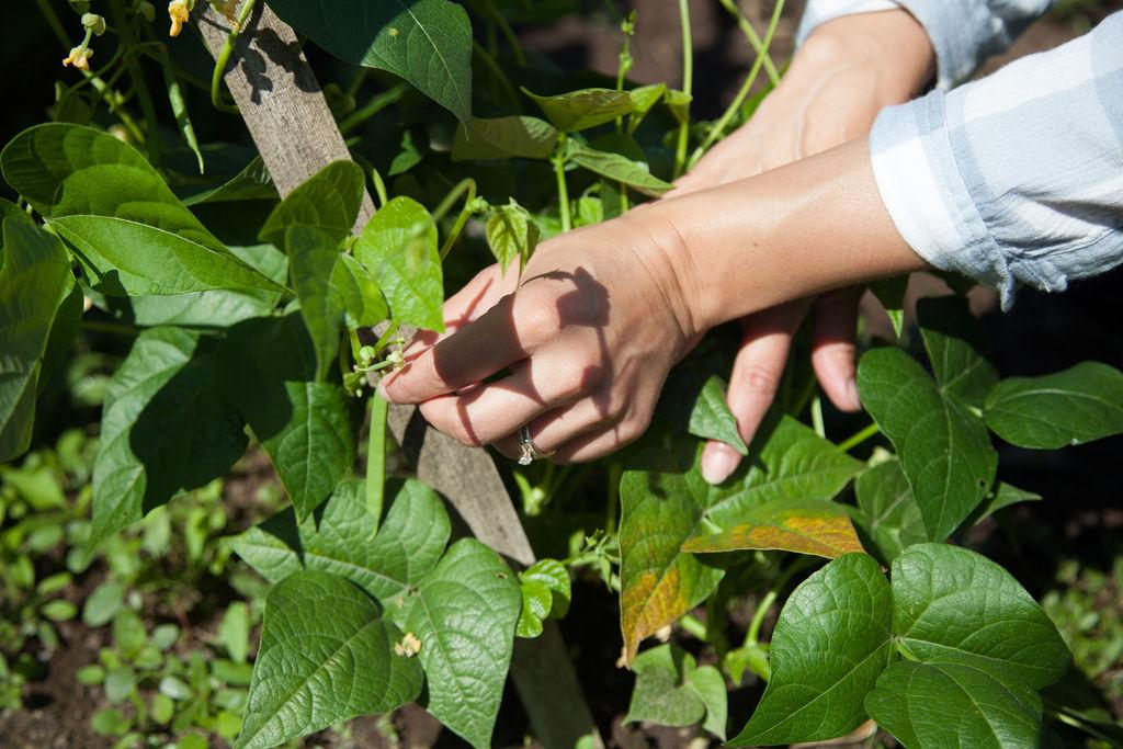 Tarheel pole green bean growing up post and hand picking fresh bean