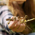 Pinterest pin for treating early blight in the garden. Image of potato plants affected by early blight.