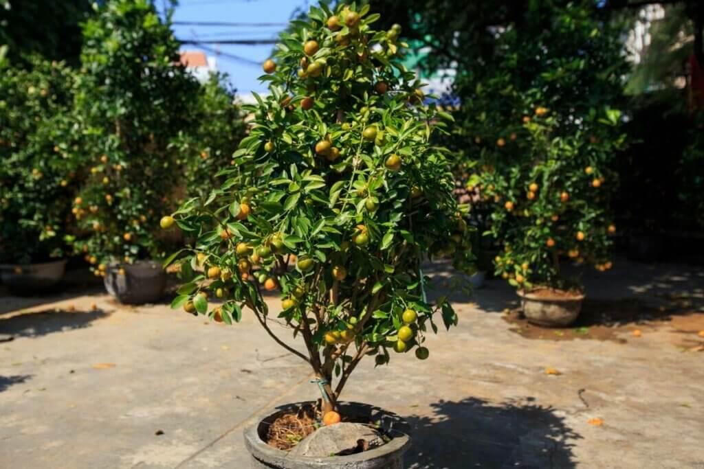 An orange tree growing in a pot on a patio.