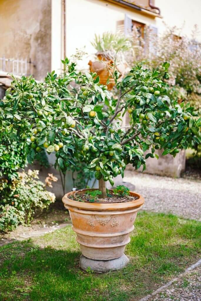A lemon tree growing in a large ceramic pot.