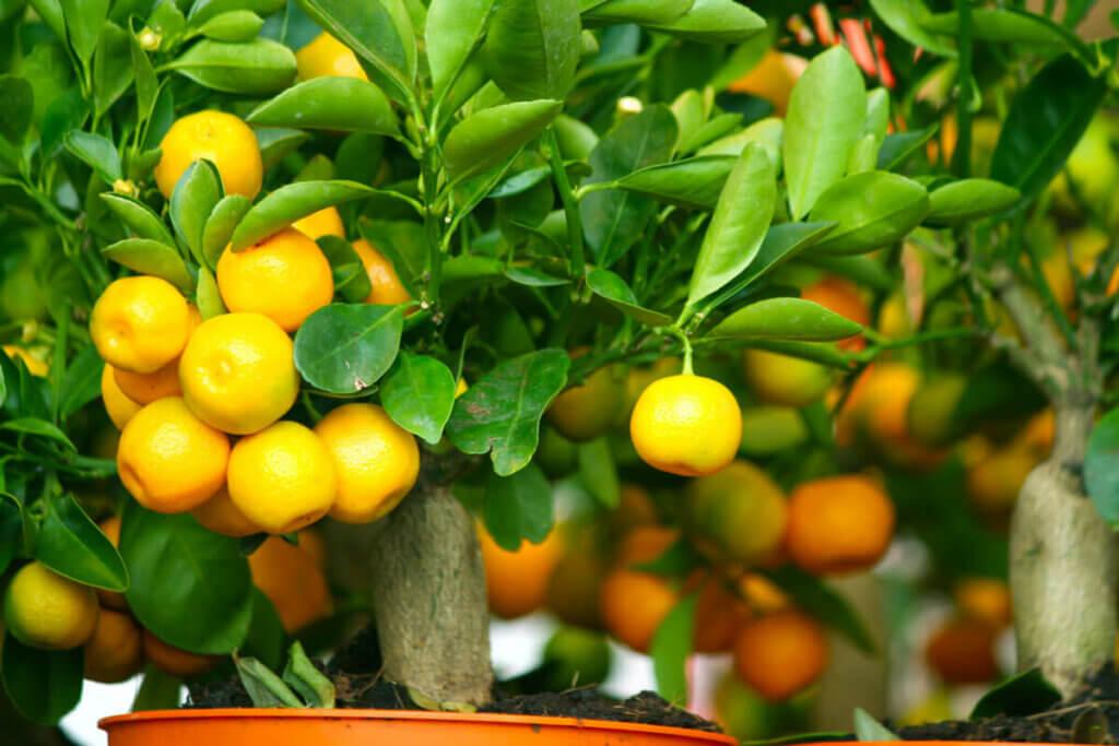 A miniature lemon tree growing in a pot.