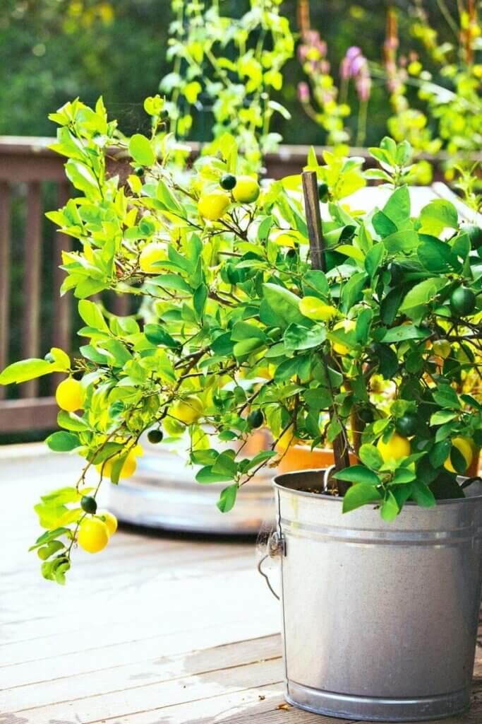 A lemon tree growing in a small pot.