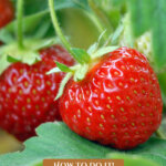 Pinterest pin for a one year hand-harvested food challenge. Images of food growing in the garden.