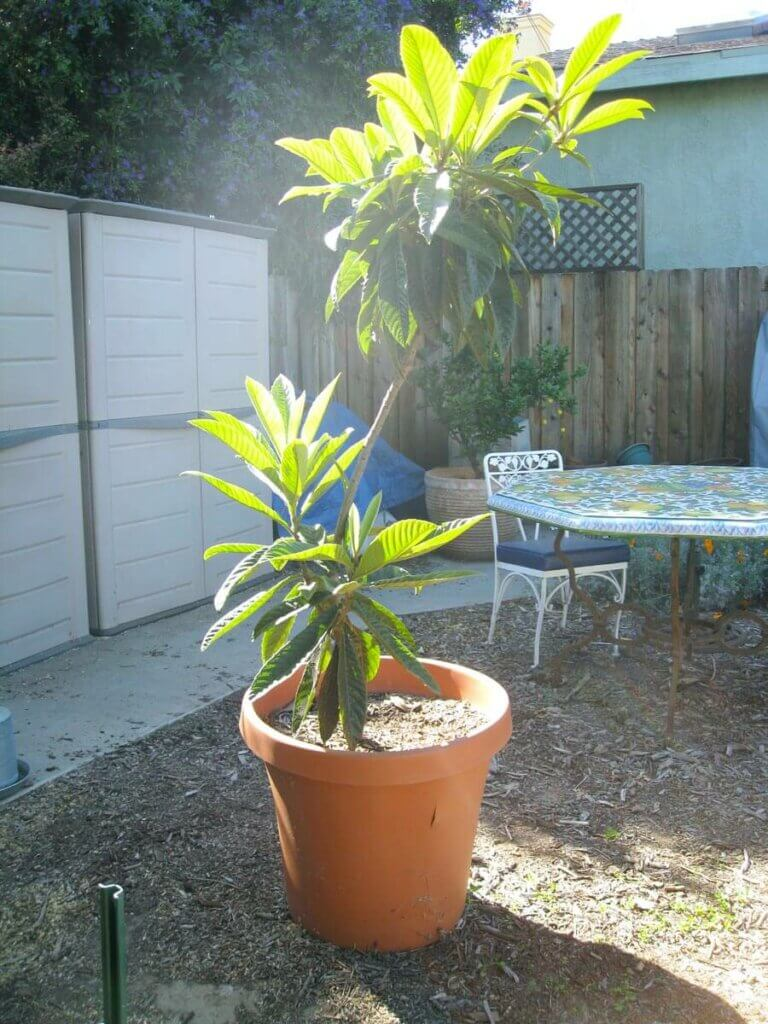 A large fruit tree growing in a terracotta pot.