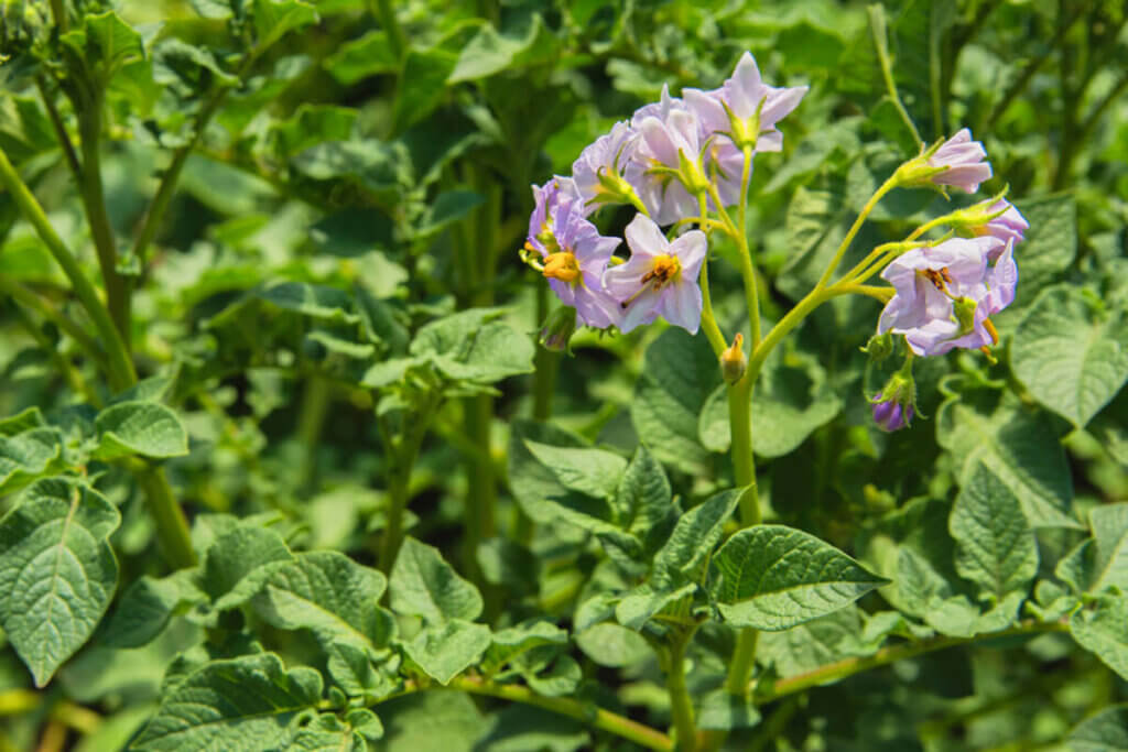 The blooms of a potato plant.