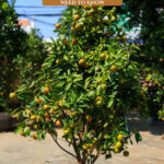 Pinterest pin for growing fruit trees in pots with an image of an orange tree in a pot.