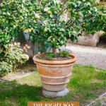 Pinterest pin for growing fruit trees in pots with an image of a lime tree in a pot.