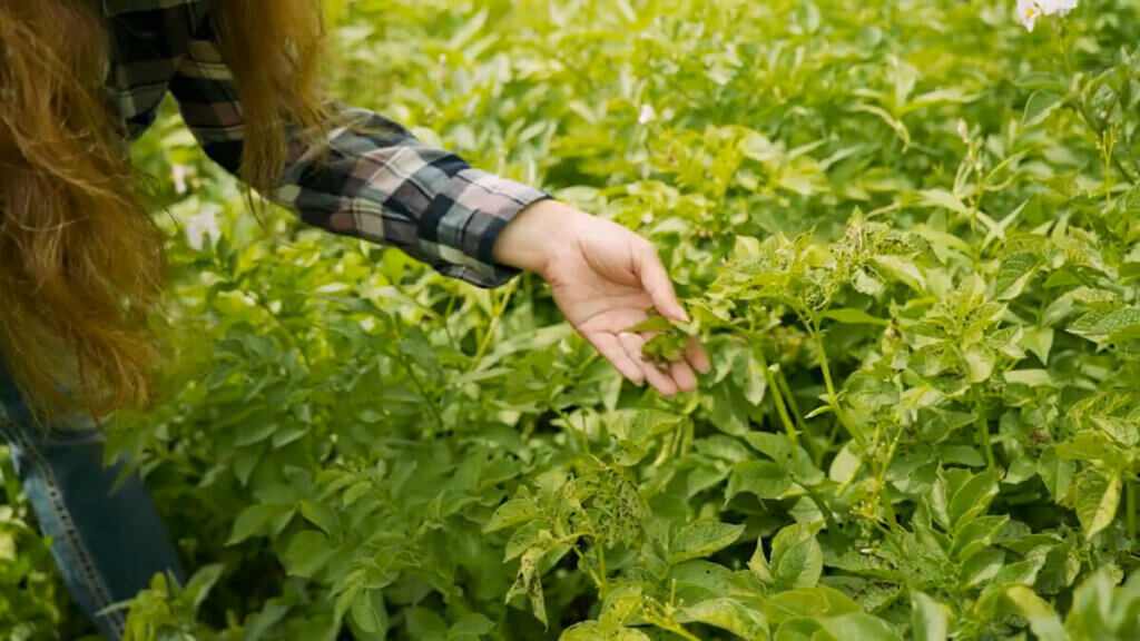 A woman showing the signs of early blight on the leaves of a potato plant.