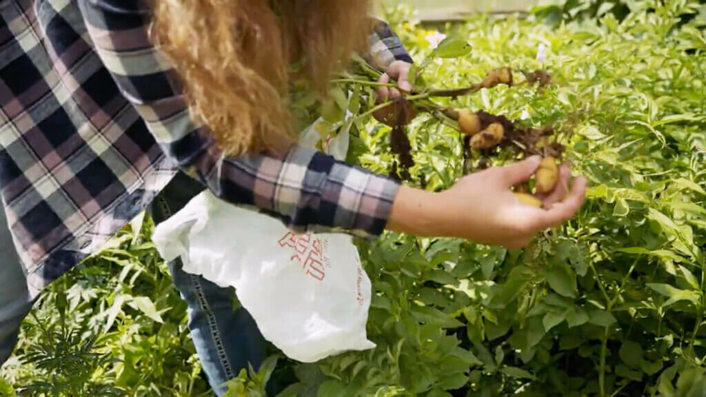 A woman harvesting small potatoes from a diseased potato plant.