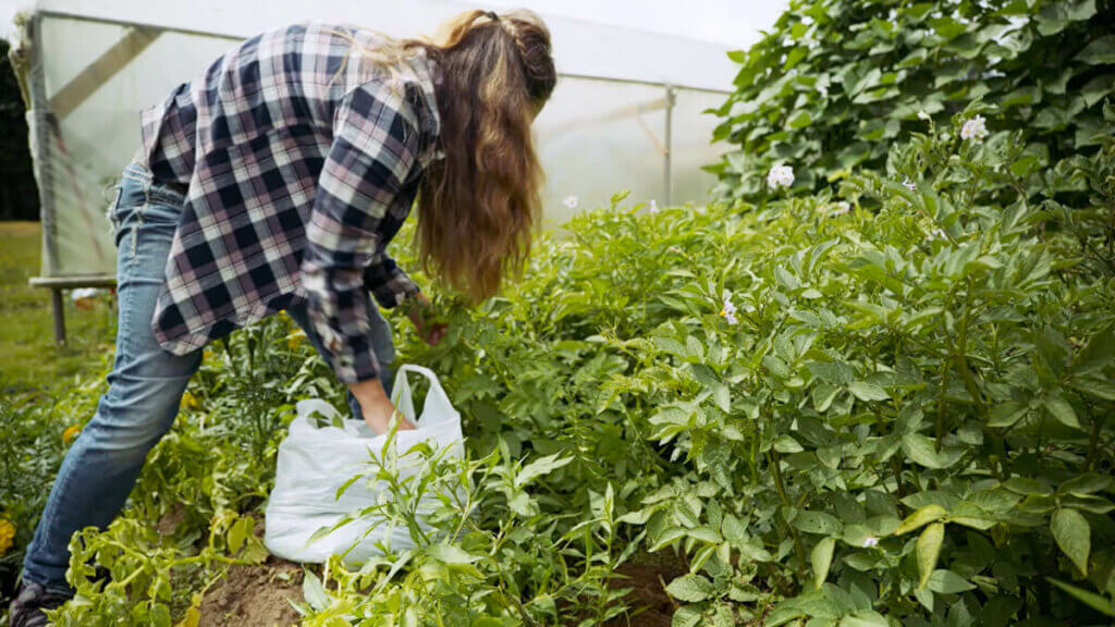 A woman removing affected leaves from her potato plants putting them into a plastic bag.