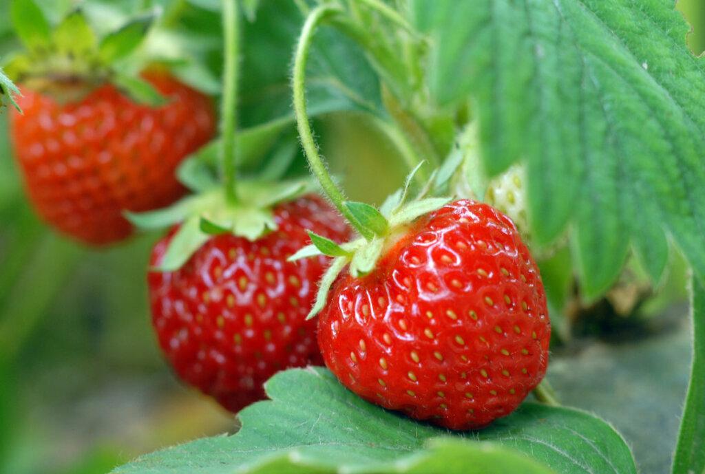 Strawberries growing on the vine.