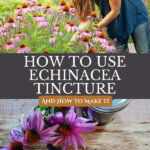 Pinterest pin for echinacea tincture with images of echinacea flowers.