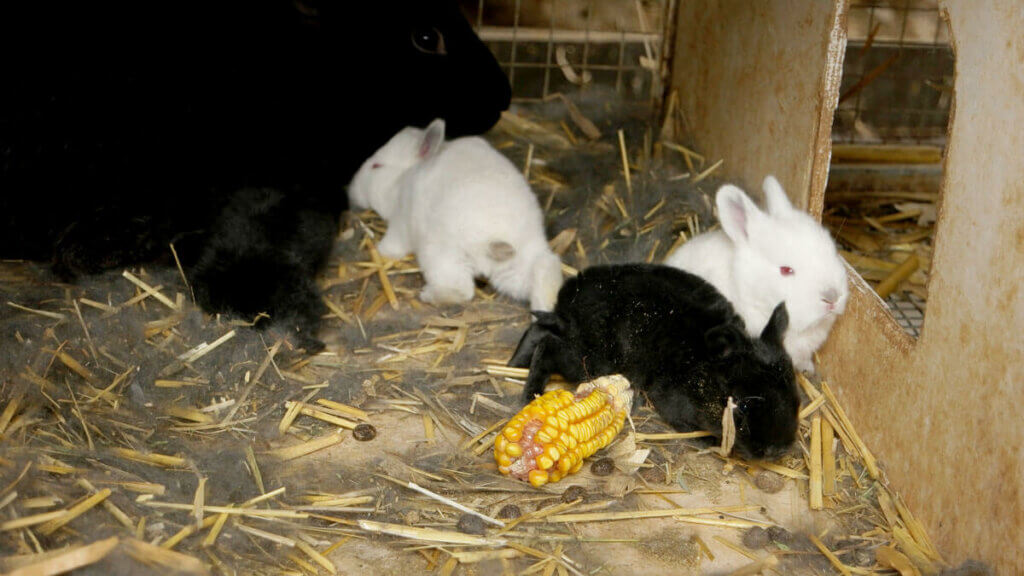 Two baby white rabbits and one baby black rabbit in a crate.