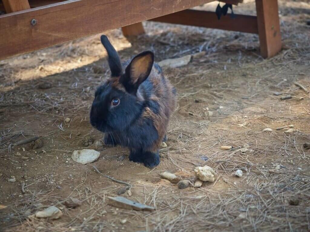 A black and brown rabbit on the ground.