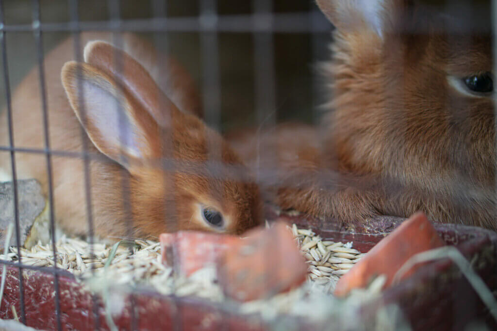 Two rabbits eating.