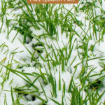 Pinterest pin for fall garden prep, image of cover crop.
