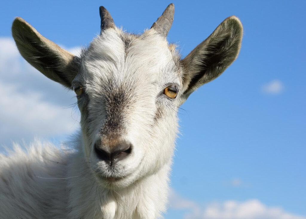 An upclose shot of a goat's face.
