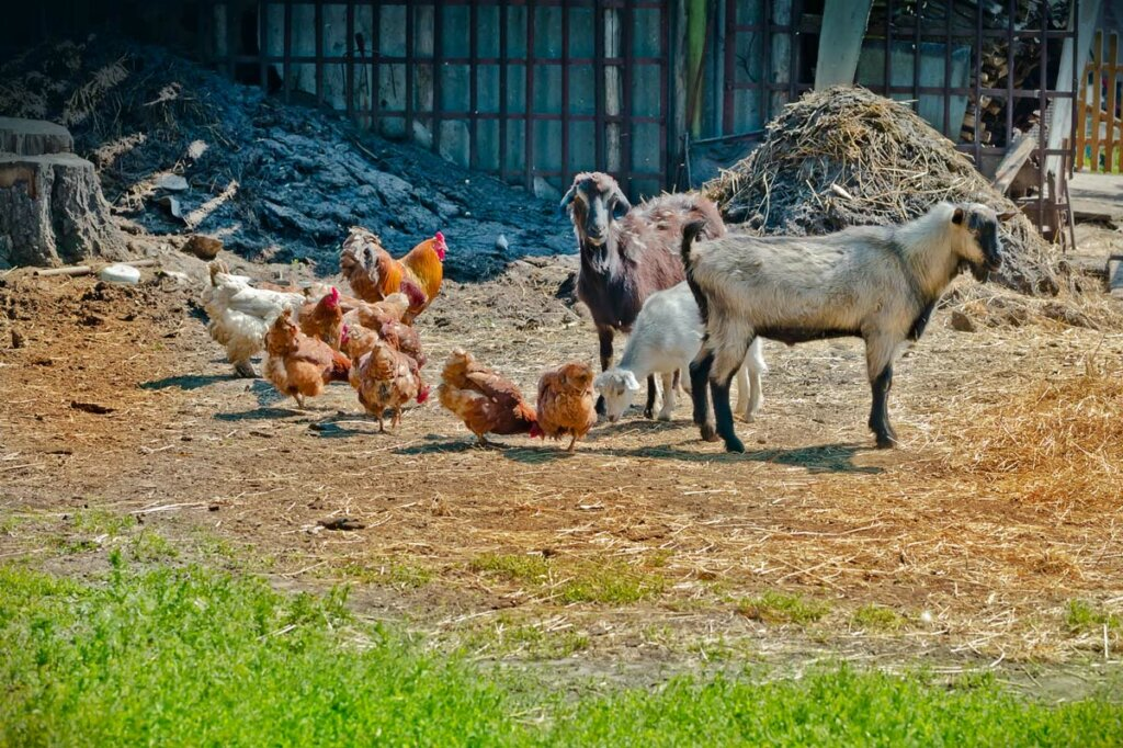 Goats and chickens on a farm.