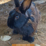 Pinterest pin for raising meat rabbits. Image of a brown and black rabbit.