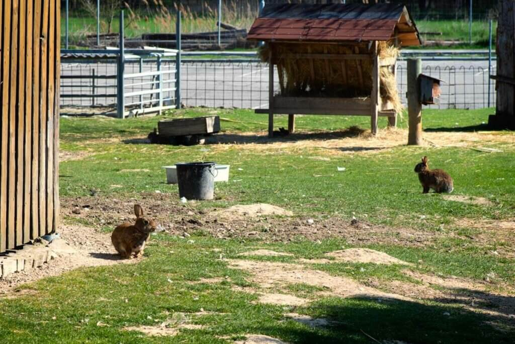 Rabbits in a large outdoor enclosure.
