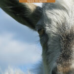 Pinterest pin for raising milk goats. Image of a goat.
