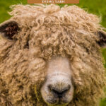Pinterest pin for raising sheep for fiber. Images of a sheep and hand-dyed yarn.