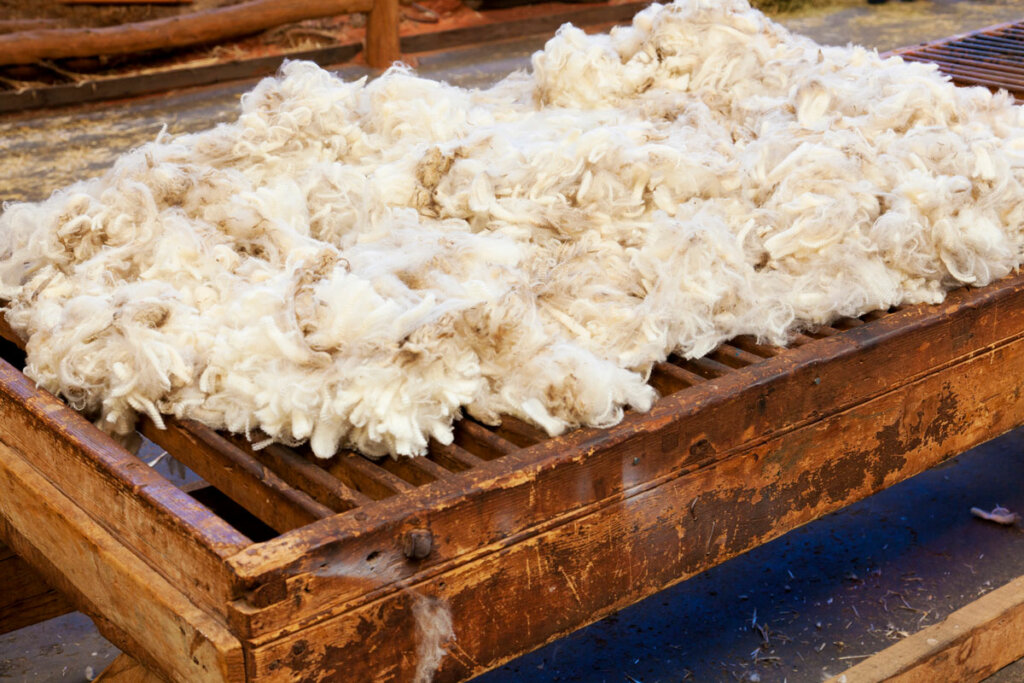Freshly shorn wool from a sheep on a wooden table top.