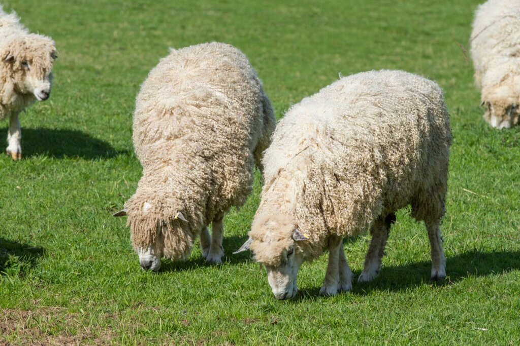 Two wooly sheep grazing in a pasture.