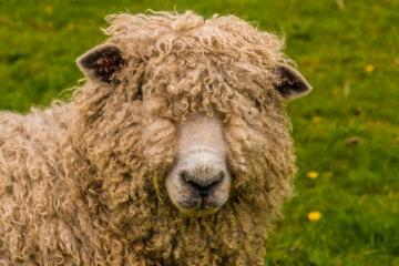 A closeup of a wooly sheep.