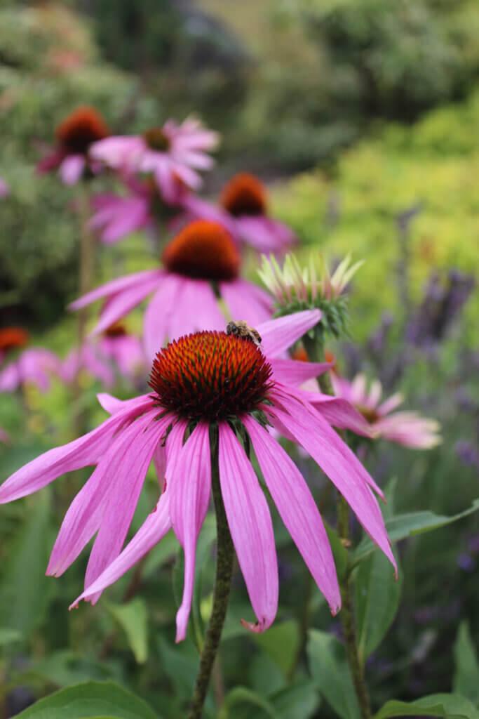 Up close photo of echinacea flower.